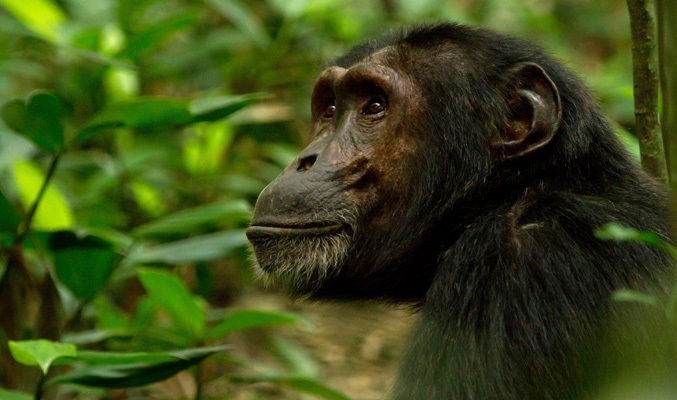 Chimpanzee Permits