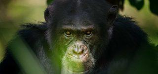 2 Days Chimpanzee Trekking Safari