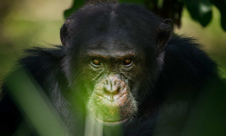 2 Days Chimpanzee Trekking Safari