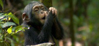 4 Days Kibale Chimpanzee And Gorilla Safari