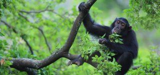 4 Days Kibale Chimpanzee Trekking & Habituation