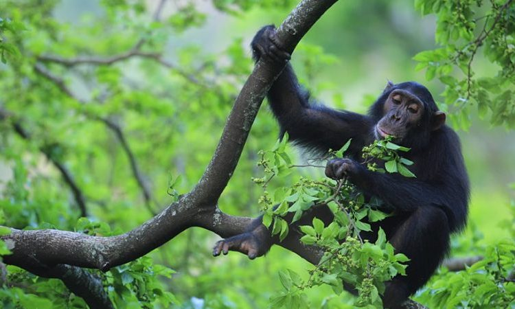 4 Days Kibale Chimpanzee Trekking & Habituation