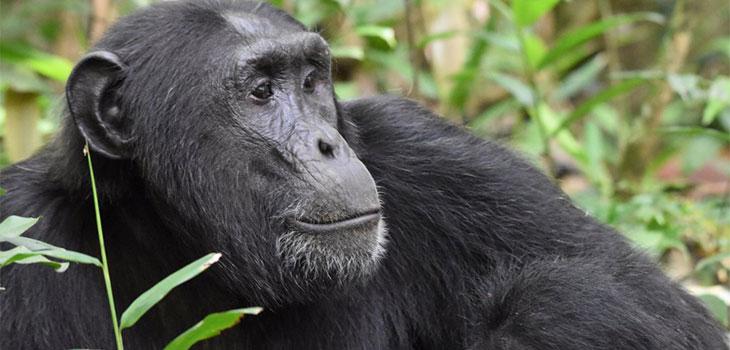 Chimpanzee Trekking Rules & Regulations