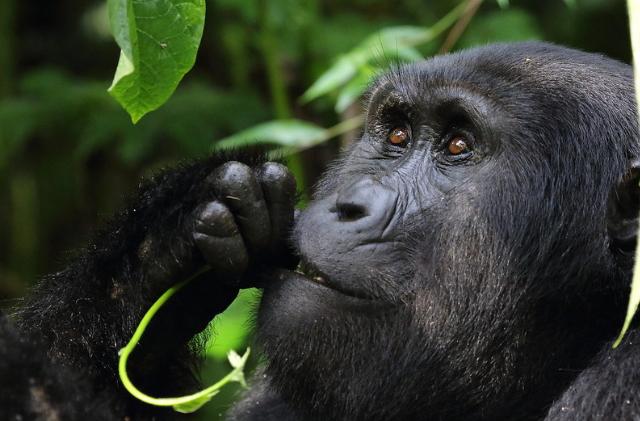 3 Days Uganda gorilla trekking tour in Bwindi impenetrable national park
