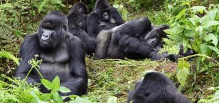 Gorilla Families in Mgahinga Gorilla National Park