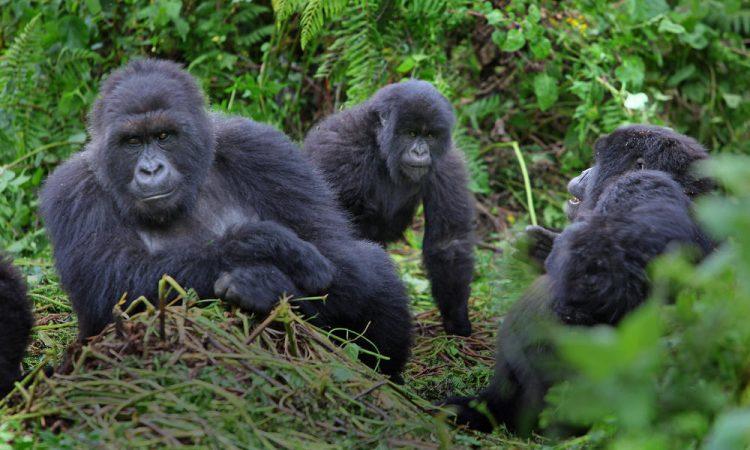Gorilla Families in Mgahinga Gorilla National Park