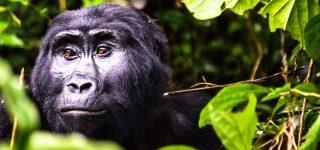 Gorilla Trekking in Bwindi Impenetrable National Park