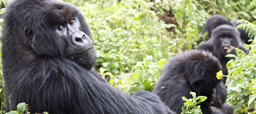 Gorilla families in Bwindi Impenetrable National Park