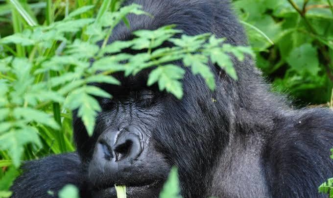 Congo Gorilla Safari Lodges