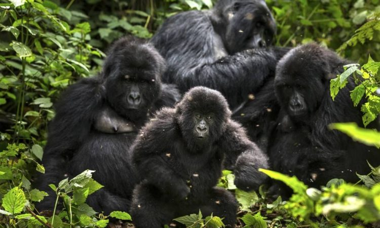 Gorilla Families in Congo