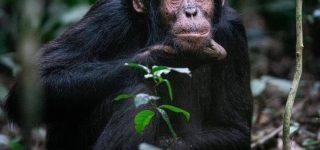 2 Days Kibale Chimpanzee Tracking safari