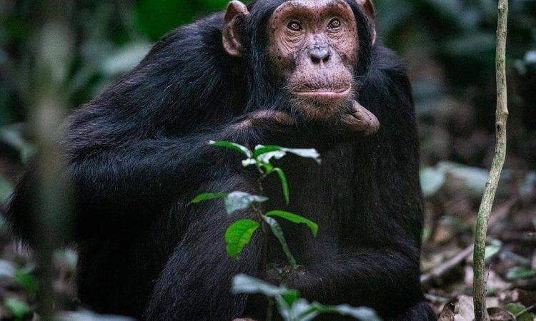 6 Days Uganda chimpanzee trekking and wildlife Safari