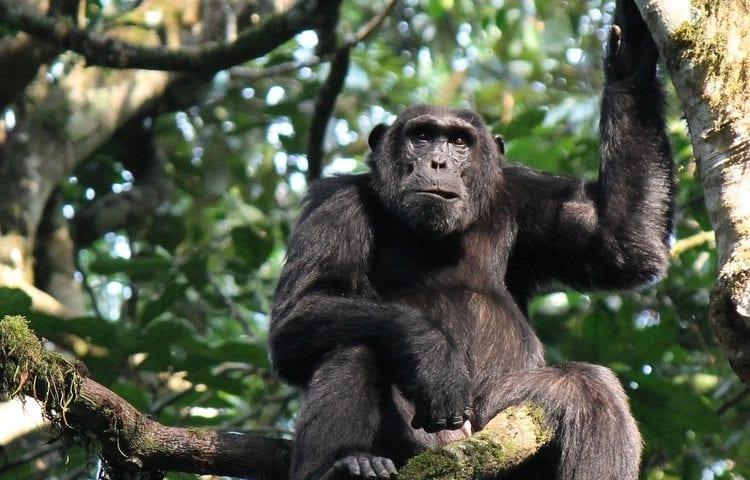 4 Days Luxury Chimpanzee Habituation and Trekking Safari