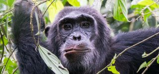 4 Days Luxury Chimpanzee Habituation and Trekking Safari