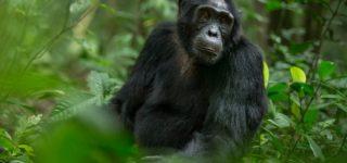 5 Days Uganda Chimpanzee Experience