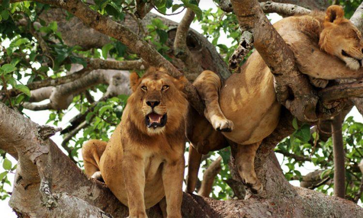 6 Days Uganda Wildlife and Chimpanzee trekking