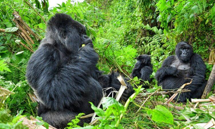 Gorilla trekking experience