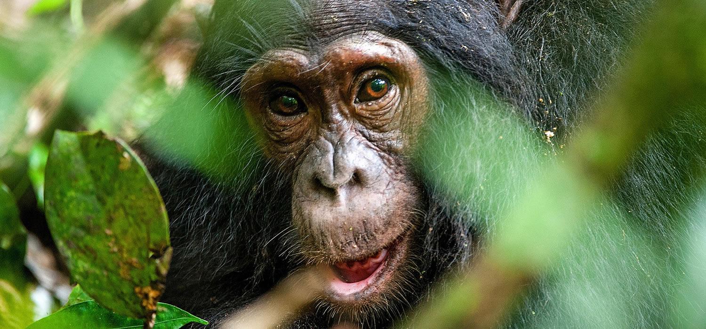 Chimpanzee in Kibale National Park 2021