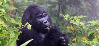 The Easiest Gorilla Families to Trek in Uganda
