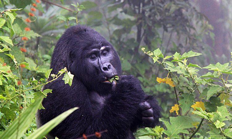 The Easiest Gorilla Families to Trek in Uganda