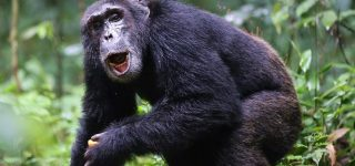 Booking Uganda Chimpanzee Permits 2021