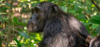 Discounted Uganda Chimpanzee Tracking Permits
