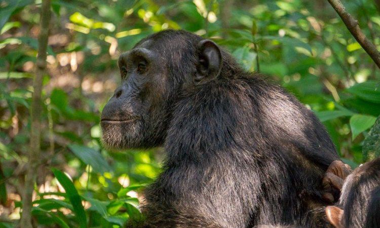 Discounted Uganda Chimpanzee Tracking Permits