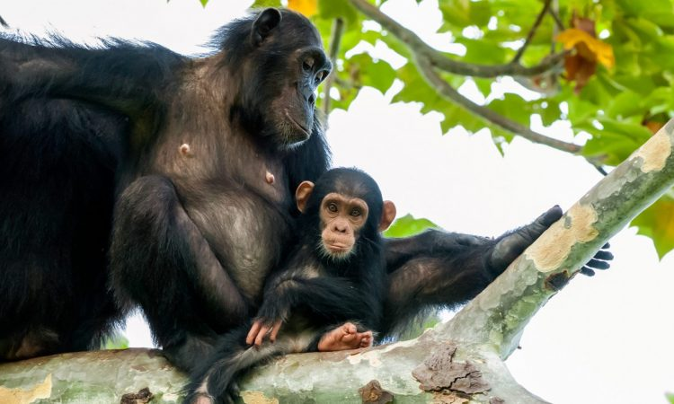 How to protect Chimpanzees