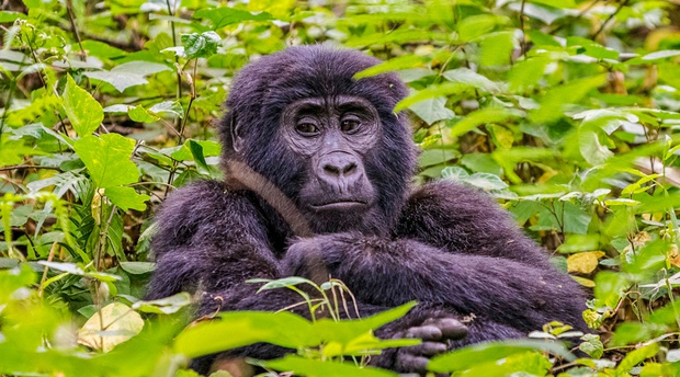 2022 Chimpanzee trekking permits in Kibale forest national park